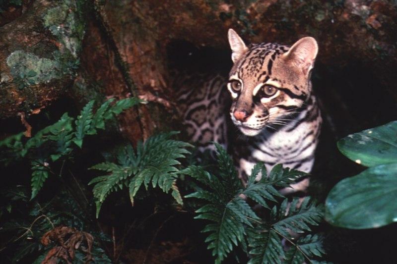 Leopardo · Reserva Amazónica