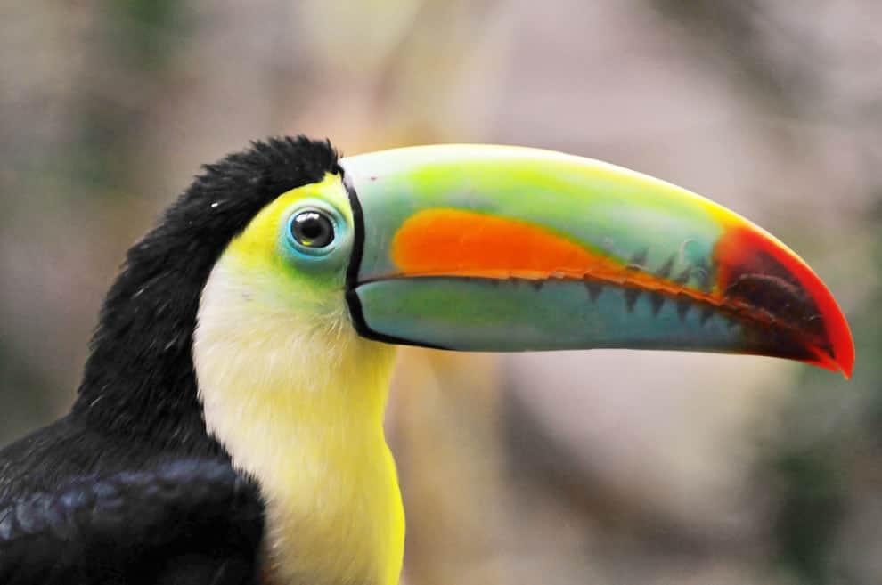 Tucan Amazonas