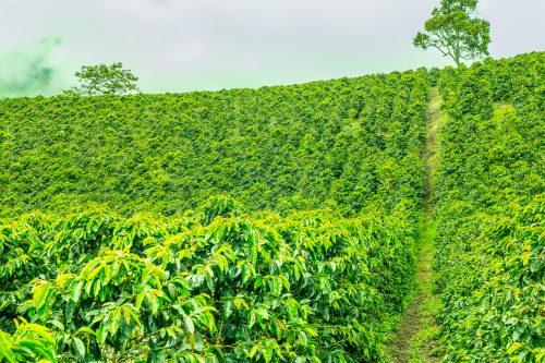 Canva Coffee Plantation In Jerico Colombia 500x333