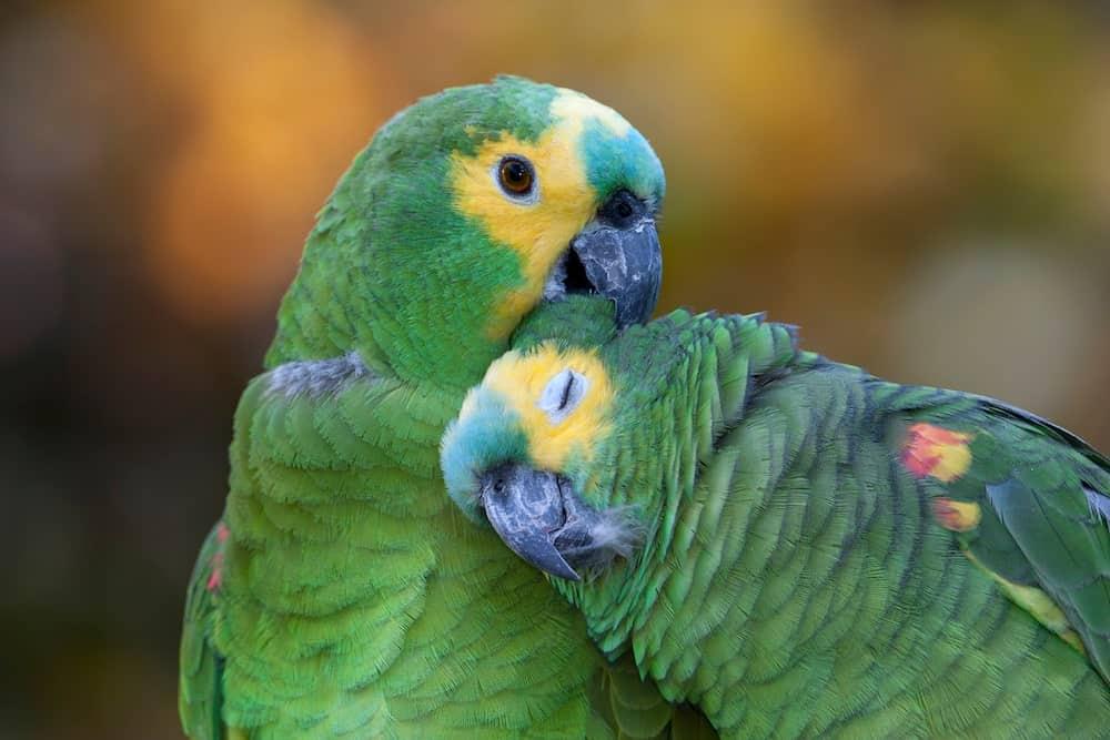 Canva - Two amazon parrots-min