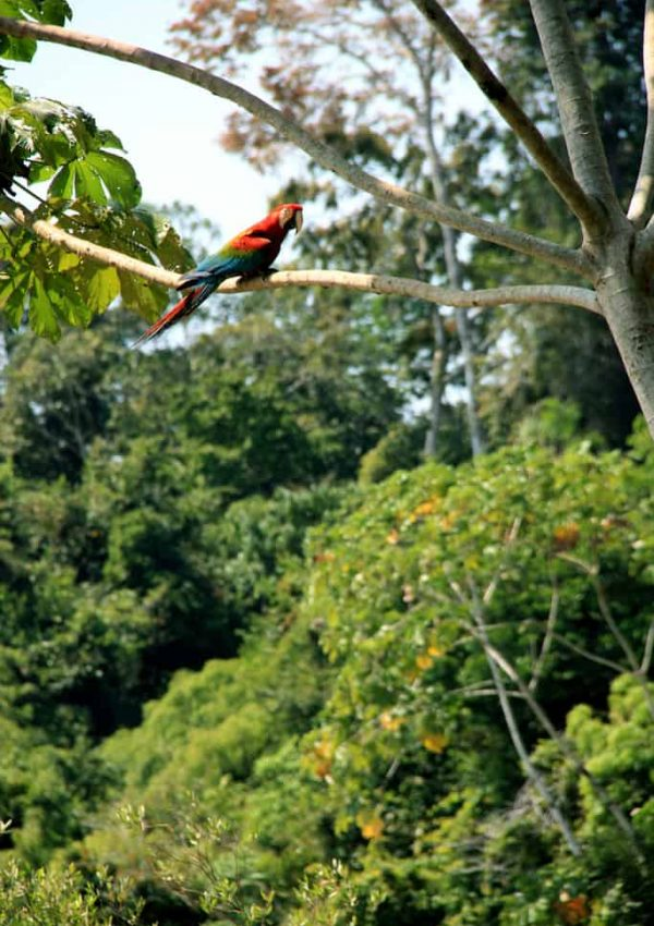 A red-and-green macaw sitting on a branch overlooking the clay site in the Tambopata National Reserve in the Amazon Basin, Peru.